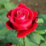 Curiosidades - Veja o que as flores têm a lhe dizer: