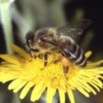 Laboratório cria botox natural de veneno de abelha