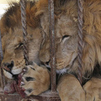 Animais - Bife é disputado ferozmente por leões em zoológico da Jordânia.