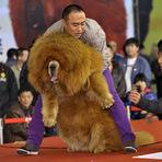 Animais - Cão mastim tibetano obeso chama atenção em concurso na China.