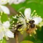Meio ambiente - Abelhas nativas sem ferrão: flora apícola