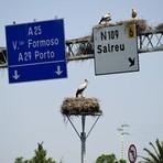 Portugal - Cegonhas constroem ninhos em cima de sinalização de trânsito em Portugal (Se alguém esta esperando a cegonha agora já)!