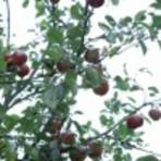 Contos e crônicas - A macieira encantada
