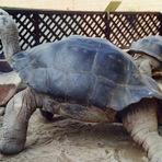 Entretenimento - Após união de mais de 100 anos, tartarugas se separam em zoo