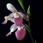 Meio ambiente - A famosa orquídea sapatinho