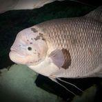 Entretenimento - Peixe fica famoso em aquário britânico por mandar beijinhos