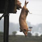 Entretenimento - Porcos chineses mergulham de 3m de altura para carne ficar saborosa