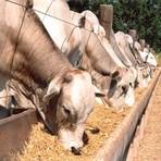 Diversos - Gado de corte - tipos e características de animais para confinamento
