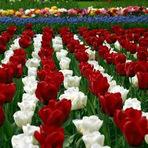 Educação - Túlipa ou tulipa?