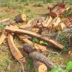 Meio ambiente - Dona de chácara é autuada em R$ 21 por derrubar árvores para explorar madeira
