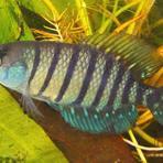 Meio ambiente - Sobe número de peixes de água doce ameaçados no Brasil