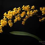 Meio ambiente - Oncidium Twinkle 'Yellow Fantasy'