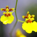 Estilo de Vida - Orquídea Chuva de Ouro (Oncidium)