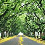 Meio ambiente - A rua mais bonita do mundo é formada por um túnel de árvores imensas