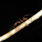 Meio ambiente - Formigueiros na Ilha do Cardoso têm até 12 rainhas por colônia