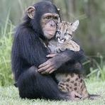 Animais - Exemplo da natureza: chimpanzé adota filhote de puma