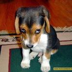 Animais - Pesquisa revela que olhar de culpa de cães não passa de imaginação dos donos