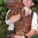 Animais - REINO ANIMAL: A salamandra gigante chinesa