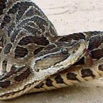 Saúde - Proteína do veneno da serpente urutu pode ser benéfica para o coração