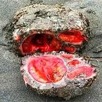 Animais - Uma rocha viva?! O incrível Pyura chilensis.
