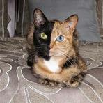 Animais - Vênus, a bizarra gata quimérica