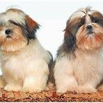 Animais - Lhasa e Shih Tzu: duas raças que confundem
