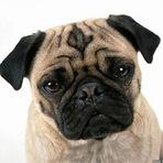 Animais - Tudo sobre o Pug