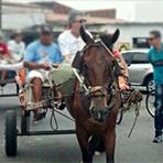 Animais - Aprovado por unanimidade projeto de lei que proíbe a circulação de veículos de tração animal em Recife