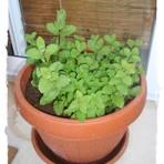 Diversos - Cultivando hortelã