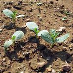 Diversos - Cultivar melancia