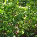 Diversos - Cultivando tomate