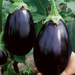 Diversos - Cultivando berinjela