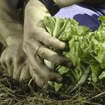 Diversos - Cultivando repolho