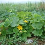 Diversos - Cultivando abóboras