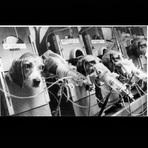 Animais - Beagles - Testes em Animais