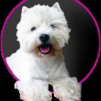 Animais - Carinhosamente apelidado de branquelo ou westie pelos amantes da raça, esse cachorro de nome longo e complicado carrega