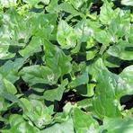 Diversos - Aprenda a Plantar Espinafre