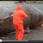 Diversos - Vídeo do momento exato em que uma baleia morta explode
