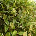 GUACO     Originária do Sul do Brasil, a planta era muito usada pelos índios para tratar picadas de cobra.