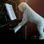 Animais - Cãozinho afoga suas mágoas cantando e tocando piano