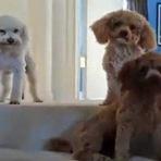 Animais - A melhor forma de descobrir um cão culpado
